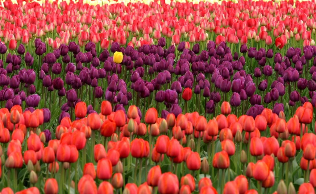Uniqueness image Tulips